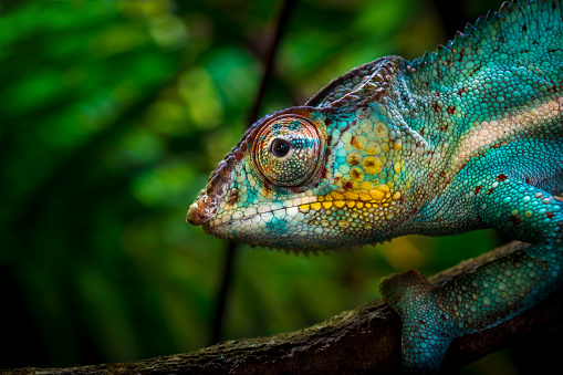 Animal「Chameleon on tree」:スマホ壁紙(17)