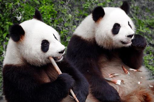 パンダ「2 つの素敵なパンダ食べるタケノコ」:スマホ壁紙(19)