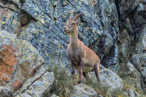 Goat「Switzerland, Lac de Cheserys, Alpine Ibex on a rock」:スマホ壁紙(10)