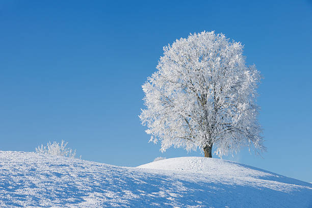 Switzerland, frost-covered lime tree on a hill in front of blue sky:スマホ壁紙(壁紙.com)