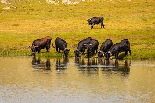 Animal「スイス連邦共和国 - 牛山湖から飲む」:スマホ壁紙(8)