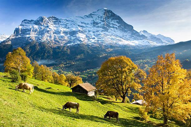 Switzerland, Bernese Oberland, Grindelwald, cows by huts:スマホ壁紙(壁紙.com)