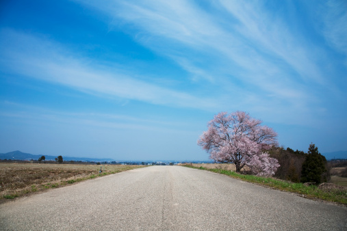 桜「Single Road Under Blue Sky, Cherry Blossom Tree Stands by the Road」:スマホ壁紙(16)