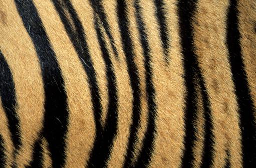Tiger「Fur pattern of endangered tiger (Panthera tigris). Dist. Asia but extinct in much of its range.」:スマホ壁紙(7)