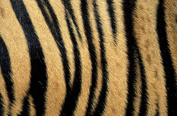 Fur pattern of endangered tiger (Panthera tigris). Dist. Asia but extinct in much of its range.:スマホ壁紙(壁紙.com)