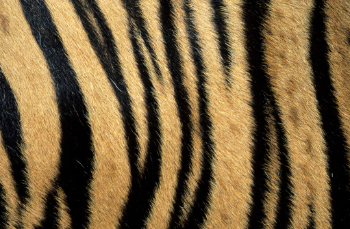 Tiger「Fur pattern of endangered tiger (Panthera tigris). Dist. Asia but extinct in much of its range.」:スマホ壁紙(5)
