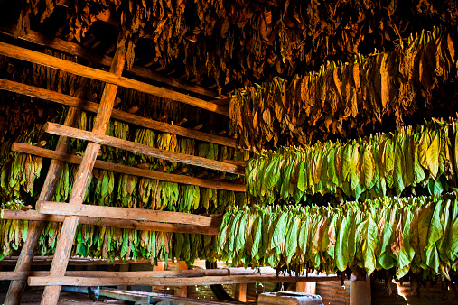 Rack「Tobacco leaves at various stages hang from rafters, drying, inside a thatch-roofed hut.」:スマホ壁紙(3)