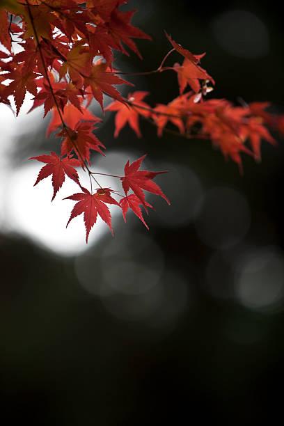Autumn Japanese Maple  Leaves:スマホ壁紙(壁紙.com)