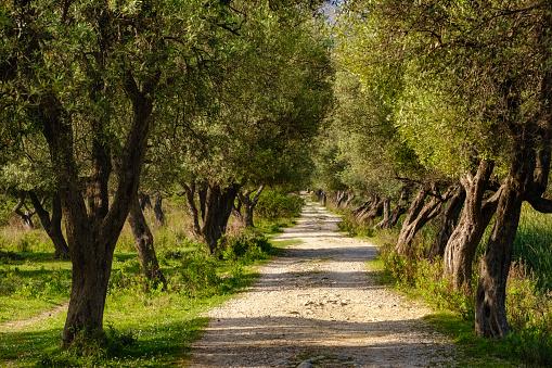 Grove「Albania, Vlore County, Borsh, way through olive grove」:スマホ壁紙(13)