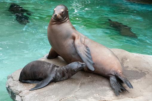 Sea Lion「Sea lions」:スマホ壁紙(4)