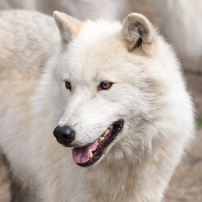 Gray Wolf「Arctic wolf, summer time」:スマホ壁紙(15)