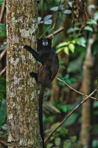 Amazon Rainforest「Black-mantled Tamarin Monkeys」:スマホ壁紙(7)