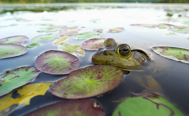 Bullfrog (Lithobates catesbeianus):スマホ壁紙(壁紙.com)