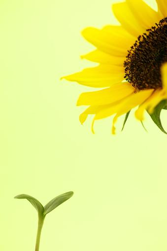 ひまわり「Sapling and sunflower」:スマホ壁紙(1)