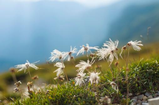 花畑「Italy, Province of Belluno, Veneto, Auronzo di Cadore, cotton grass (Eriophorum), close-up」:スマホ壁紙(1)