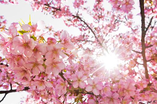 桜「午前中にピンクの桜の花を太陽光線」:スマホ壁紙(12)