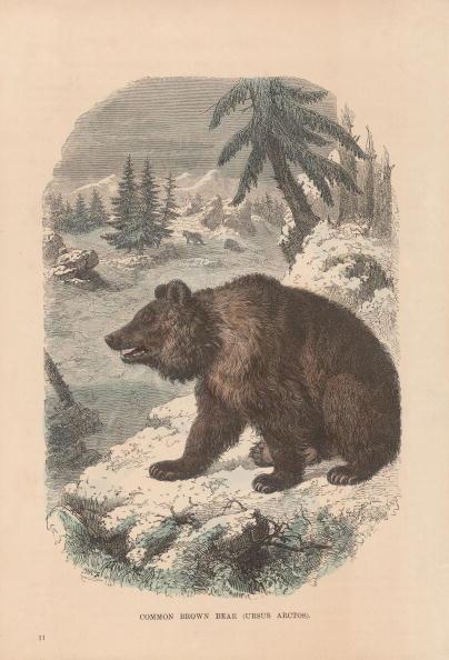 Brown Bear「Ursus Arctos」:写真・画像(15)[壁紙.com]