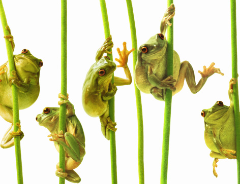 Rivalry「Whites tree frogs climbing plant stems, close-up (Digital Composite)」:スマホ壁紙(3)