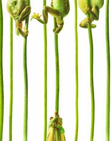 Struggle「Whites tree frogs climbing plant stems, close-up (Digital Composite)」:スマホ壁紙(13)