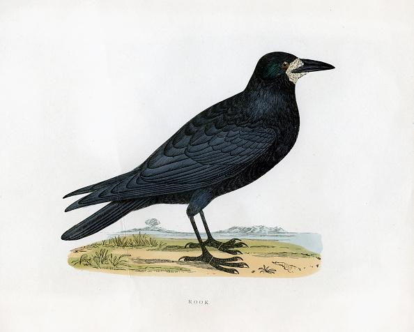 Beak「'Rook', c19th century.」:写真・画像(10)[壁紙.com]