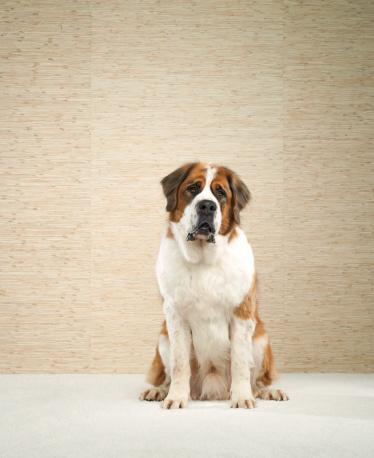 Waiting「Saint Bernard (Canis lupus familiaris)」:スマホ壁紙(19)