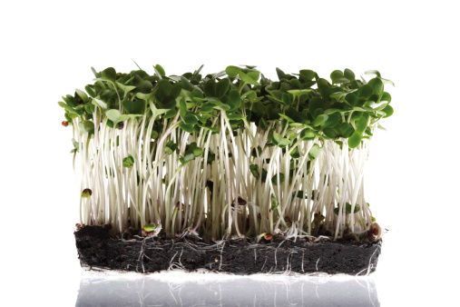 Spice「Broccoli sprouts」:スマホ壁紙(17)