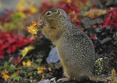 Squirrel「Arctic Ground Squirrel, Citellus parryi. Feeding. Autumn. Denali National Park & Preserve, Alaska. The tundra turns a beautiful red in the fall (blueberry plants, bearberry, etc).」:スマホ壁紙(4)