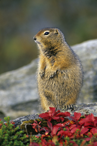 Squirrel「Arctic Ground Squirrel, Citellus parryi, in autumn tundra, Denali National Park, Alaska. Lives in the far north including the tundra」:スマホ壁紙(12)