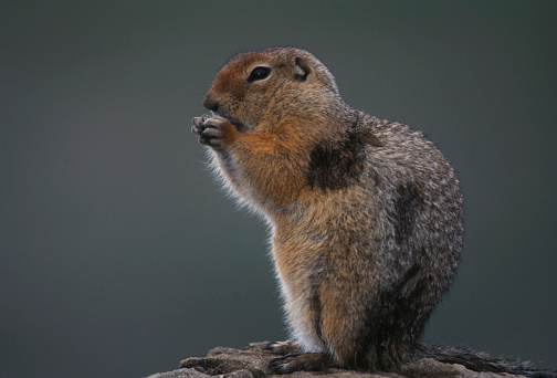 Squirrel「Arctic Ground Squirrel.」:スマホ壁紙(6)