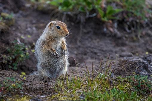 リス「Arctic ground squirrel (Spermophilus parryii) below Tolbachik volcano complex」:スマホ壁紙(2)