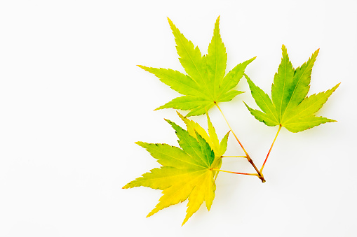 紅葉「Yellow green fullmoon maple, Acer japonicum, leaves」:スマホ壁紙(1)
