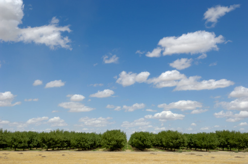Grove「Distant Orchard View of Ripening Almond Nuts」:スマホ壁紙(2)