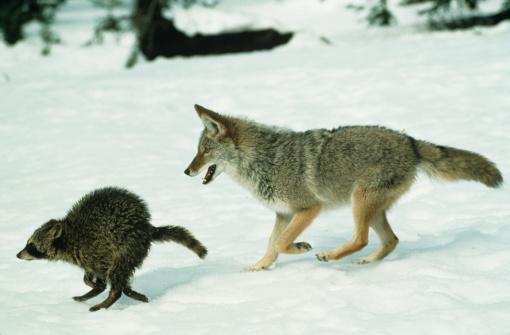 Raccoon「Coyote chasing raccoon on snow」:スマホ壁紙(15)