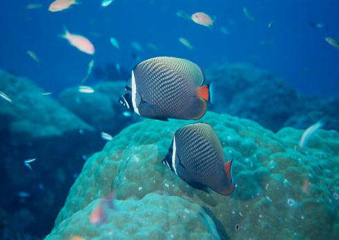 熱帯魚「Fish」:スマホ壁紙(2)