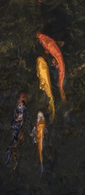 Carp「fish」:スマホ壁紙(4)