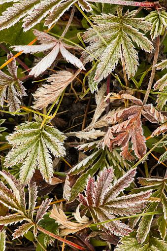 Uncompahgre National Forest「Frost covered Wild Geranium (Geranium maculatum) foliage, Uncompahgre National Forest, Colorado, USA」:スマホ壁紙(3)