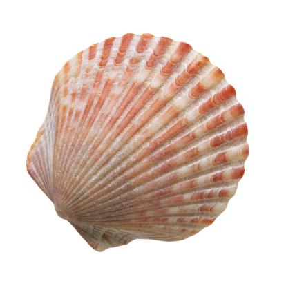 貝殻「Scallop Seashell」:スマホ壁紙(10)
