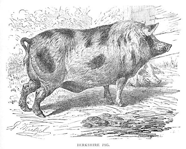 Picture Book「Berkshire Pig Circa 1900」:写真・画像(14)[壁紙.com]