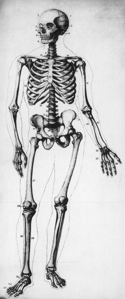 Engraved Image「Human Skeleton」:写真・画像(9)[壁紙.com]
