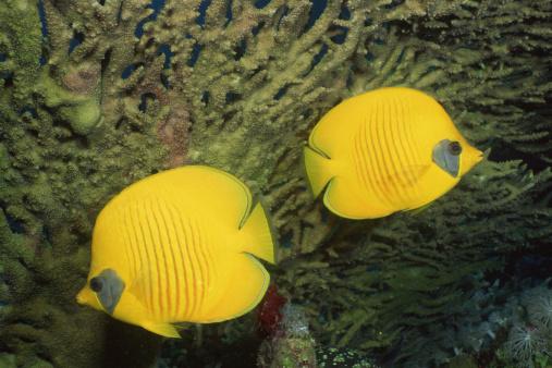 Butterflyfish「Pair of yellow masked butterflyfish」:スマホ壁紙(8)