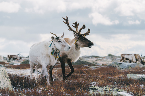 Boreal Forest「Reindeers couple standing  in Mongolia in winter」:スマホ壁紙(4)