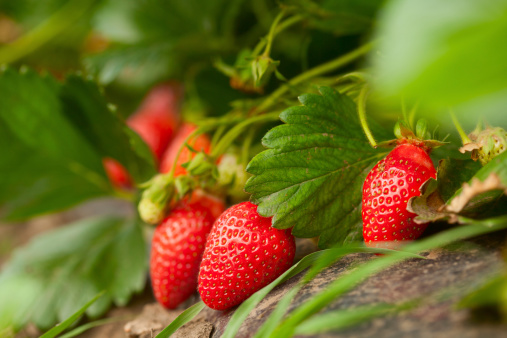 Harvesting「Fresh organic strawberry」:スマホ壁紙(17)
