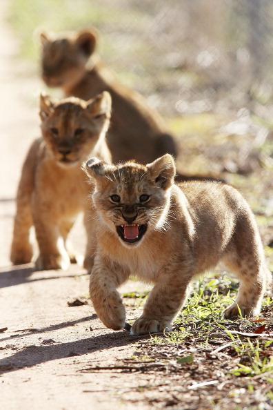 Lion Cub「Lion Cubs Debut At Monarto Zoo」:写真・画像(7)[壁紙.com]