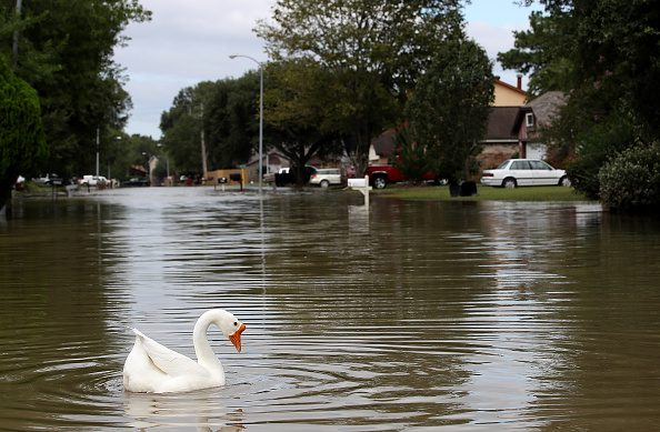動物「Epic Flooding Inundates Houston After Hurricane Harvey」:写真・画像(7)[壁紙.com]