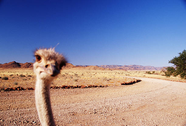 Ostrich (Struthio camelus) on dirt road in Namib Desert, high section:スマホ壁紙(壁紙.com)