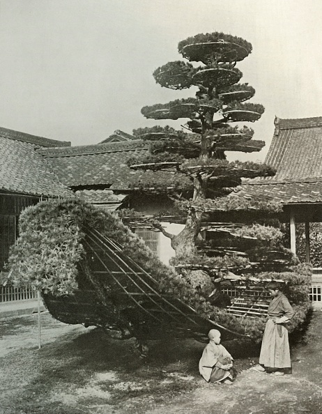 Pinaceae「The Pine-Tree Junk At Kinkakuji」:写真・画像(0)[壁紙.com]