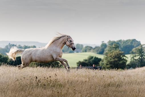 Showing Off「Prancing Palomino horse showing off.」:スマホ壁紙(19)
