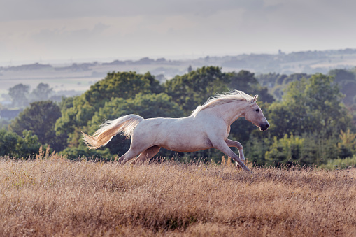 Horse「Prancing Palomino horse showing off.」:スマホ壁紙(6)