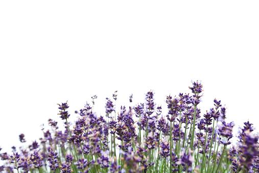 Lavender - Plant「Lavender」:スマホ壁紙(17)