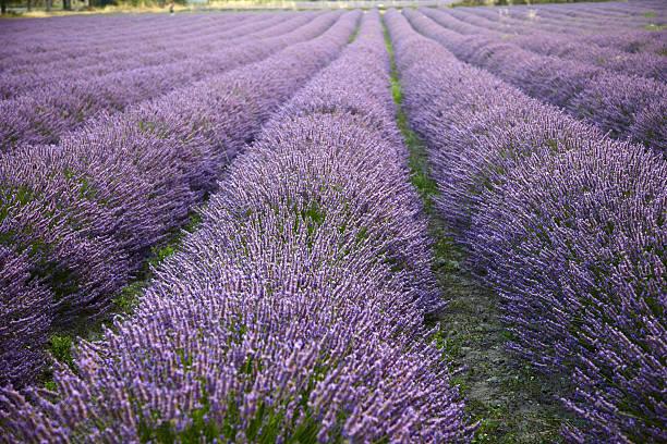 Lavender:スマホ壁紙(壁紙.com)